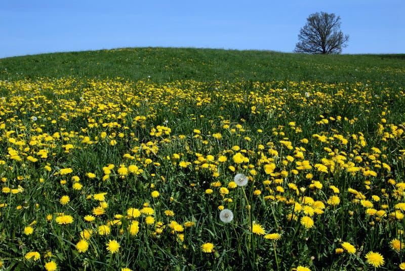 желтый цвет весны одуванчиков стоковое изображение rf