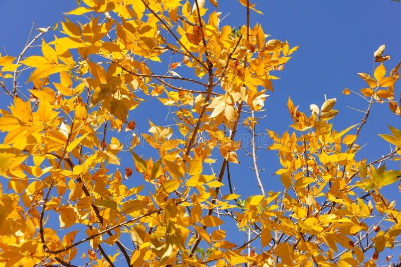 Желтый цвет выходит с предпосылкой голубого неба в осень стоковая фотография