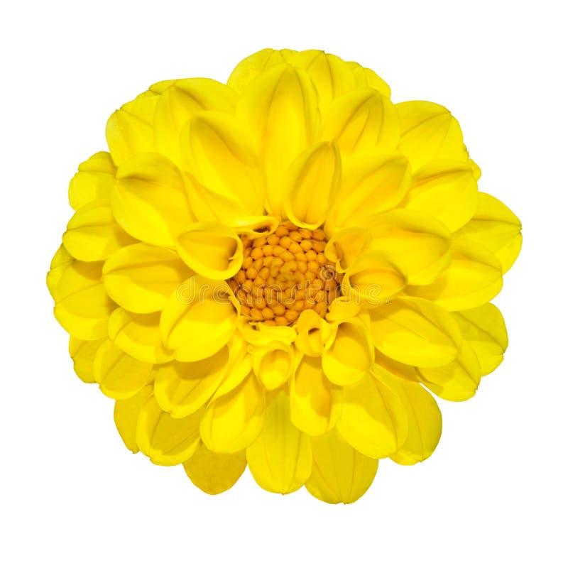 желтый цвет георгина изолированный цветком белый стоковое изображение