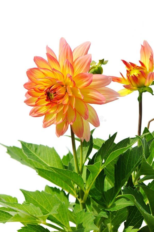 желтый цвет георгина изолированный цветком красный белый стоковое фото