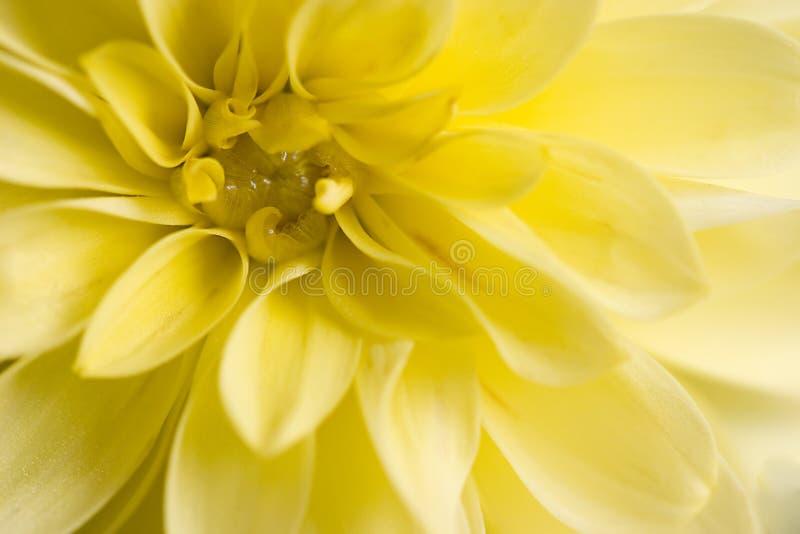 желтый цвет георгина стоковая фотография