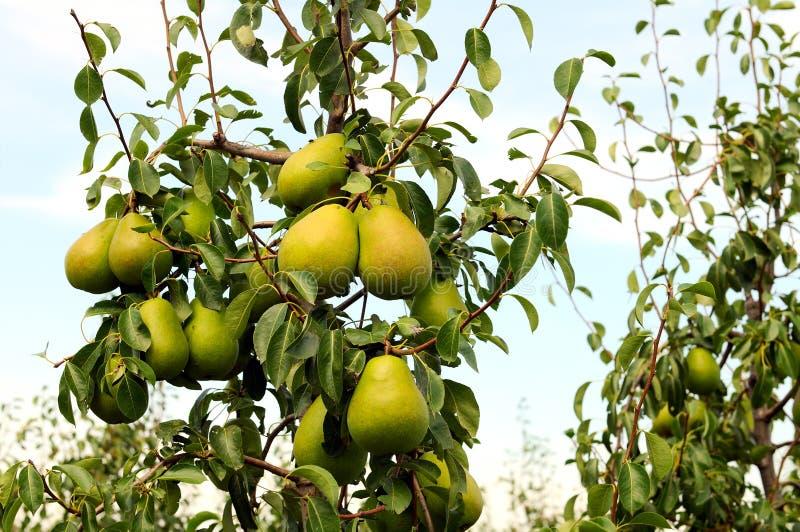 желтый цвет грушевого дерев дерева груши стоковое изображение