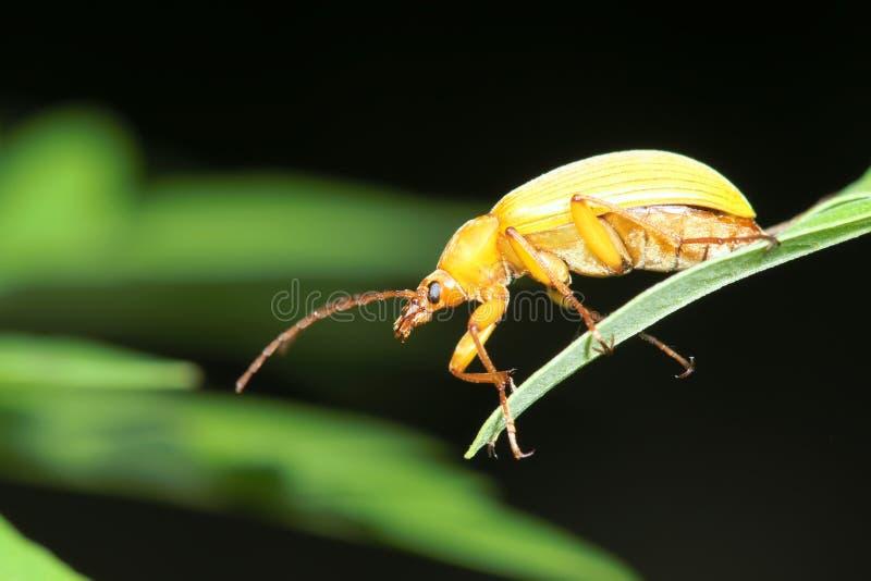 желтый цвет жука стоковая фотография