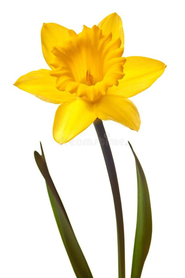 желтый цвет изолированный daffodil стоковое изображение