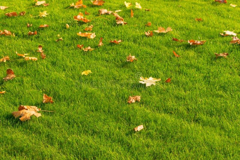 Желтый цвет и упаденные апельсином кленовые листы на яркой ой-зелен лужайке Au стоковые фотографии rf