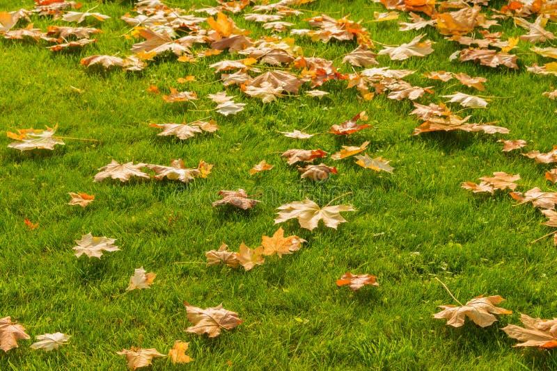 Желтый цвет и упаденные апельсином кленовые листы на яркой ой-зелен лужайке Au стоковые изображения