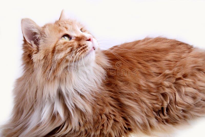 желтый цвет кота стоковое изображение rf