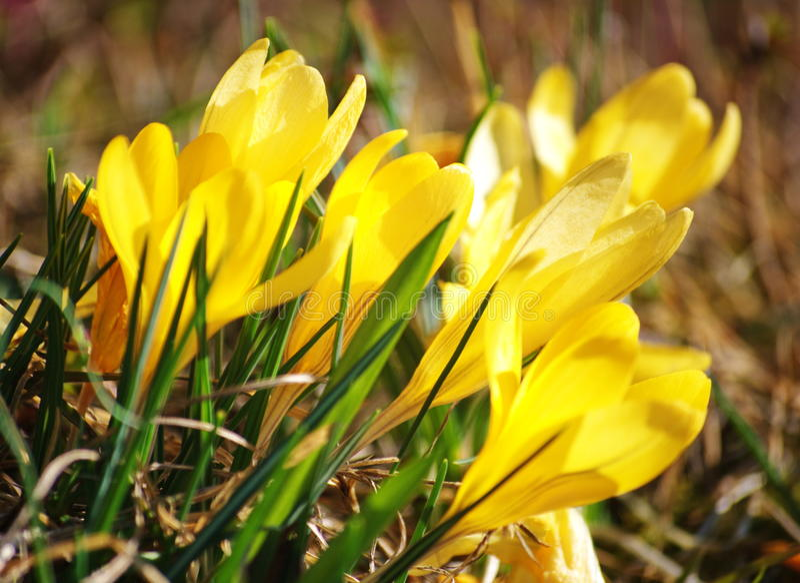 желтый цвет крокуса стоковая фотография rf