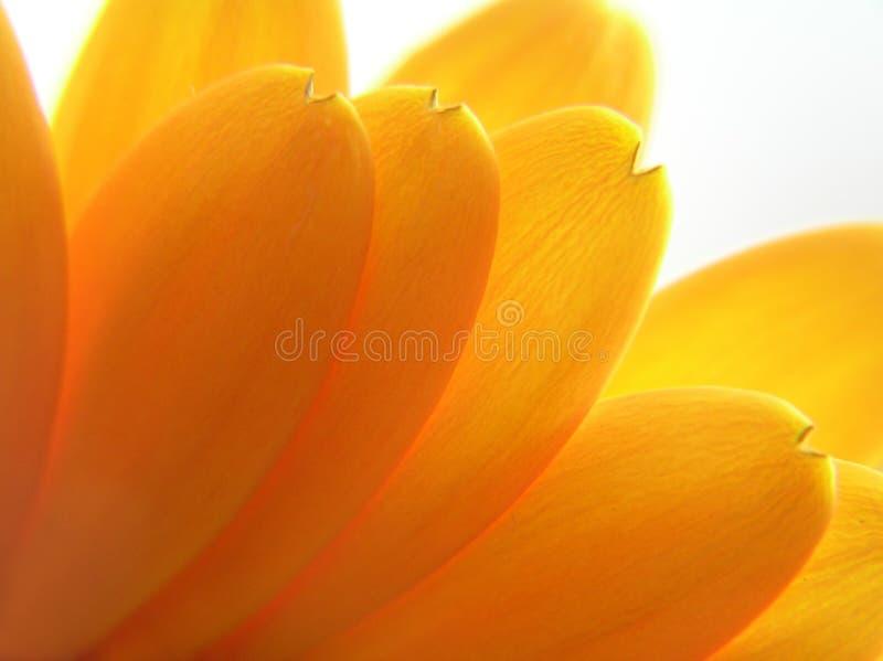 желтый цвет лепестков стоковое фото rf