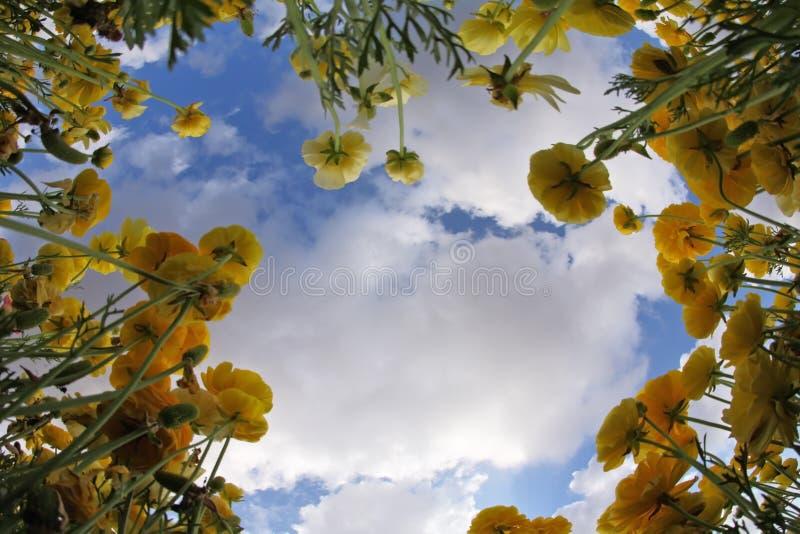 Download желтый цвет лужка лютиков стоковое фото. изображение насчитывающей backhander - 18375394