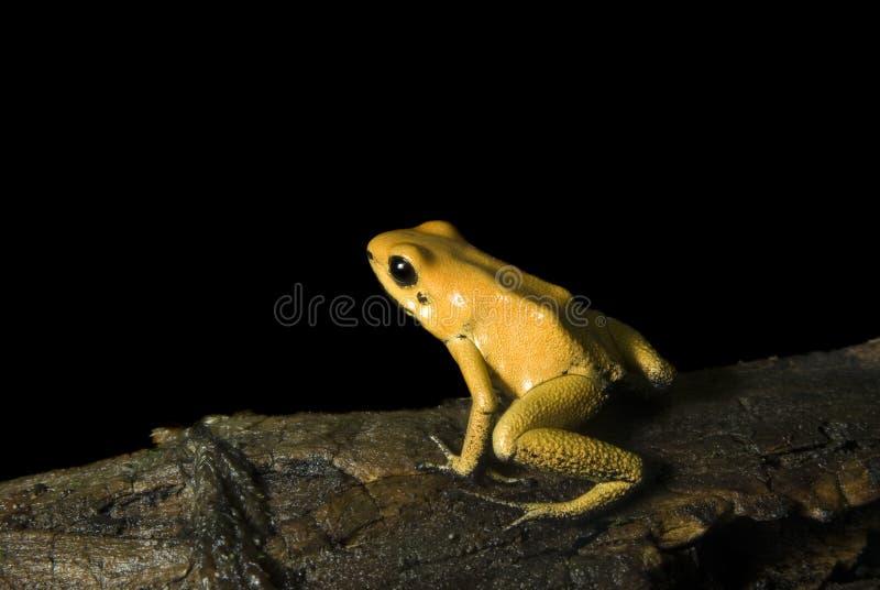 желтый цвет лягушки дротика стоковые фотографии rf