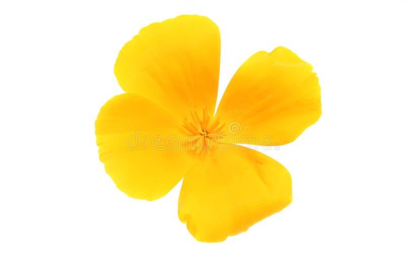 желтый цвет мака стоковое фото