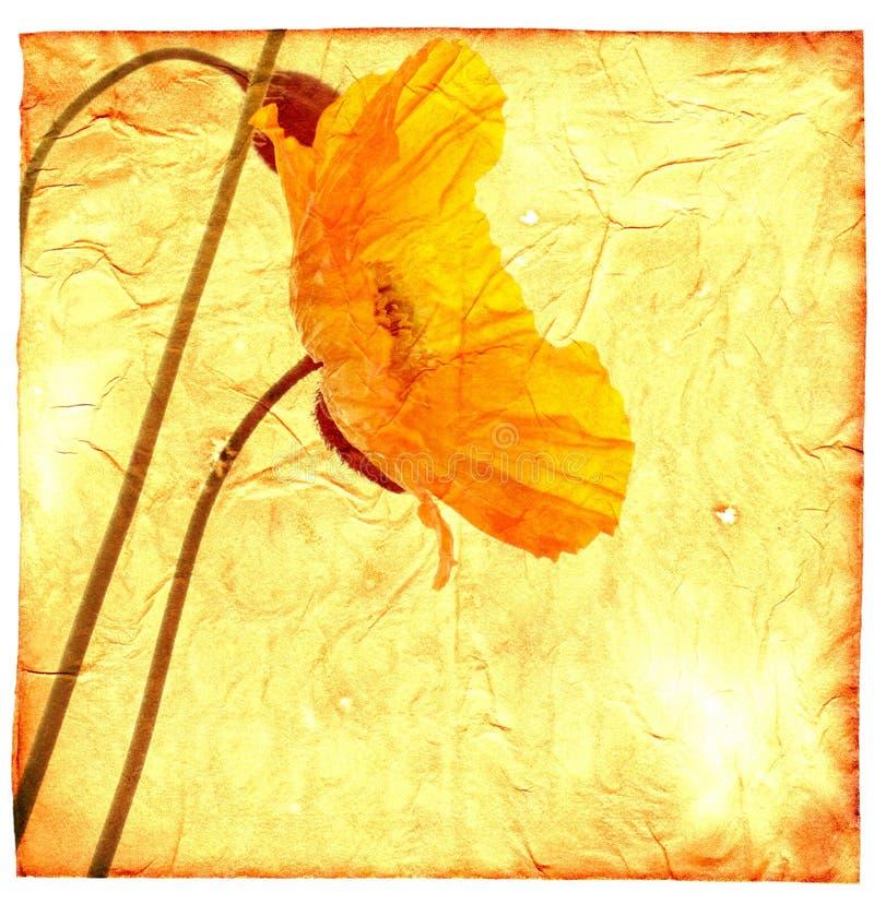 желтый цвет мака стоковое фото rf