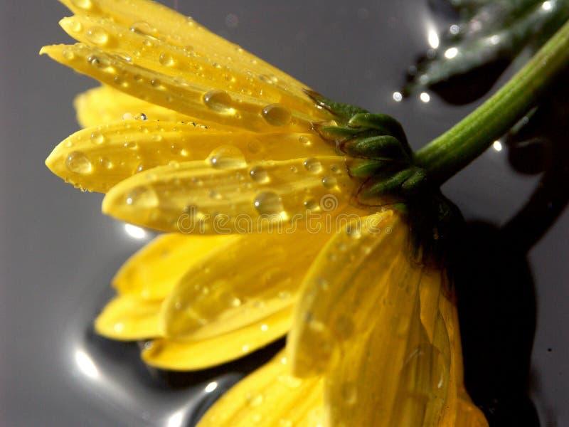 Download желтый цвет маргаритки стоковое фото. изображение насчитывающей заводы - 1183144