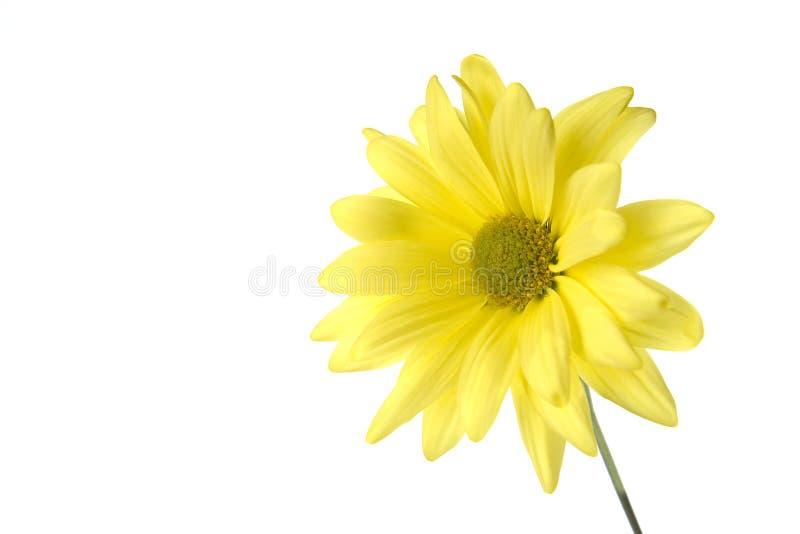 желтый цвет маргаритки стоковые фотографии rf