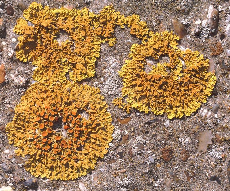 желтый цвет маштаба лишайника стоковые изображения rf