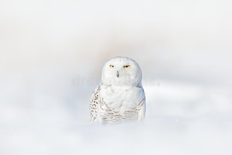 Желтый цвет наблюдает в белых пер оперения Сыч Snowy, scandiaca Nyctea, редкая птица сидя на снеге, зиме с снежинками в одичалом  стоковое фото rf
