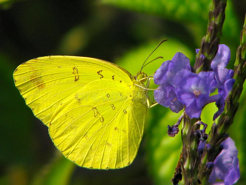 желтый цвет наклоненный бабочкой стоковое фото
