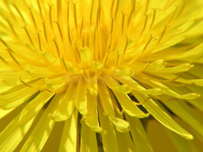 желтый цвет одуванчика стоковая фотография rf