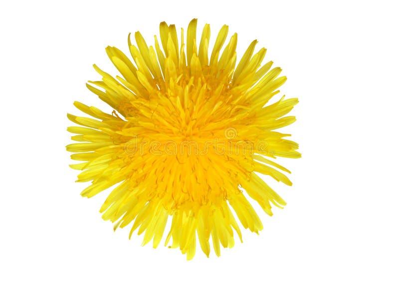 желтый цвет одуванчика стоковые изображения rf