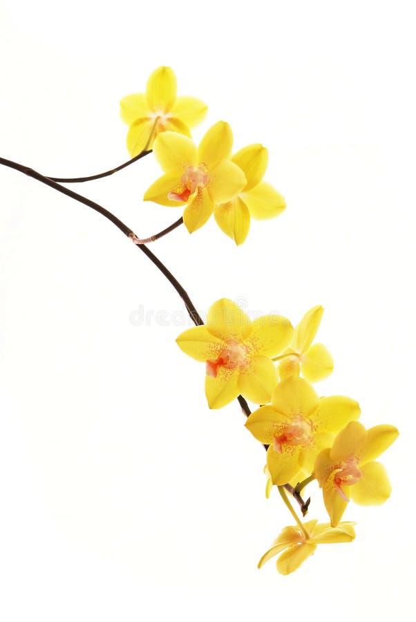 желтый цвет орхидей ветви стоковое изображение