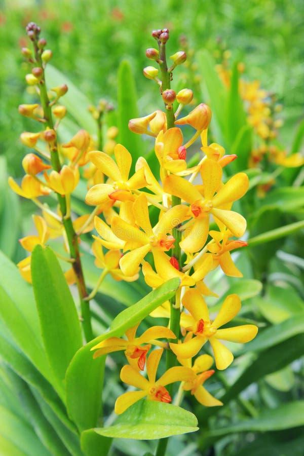 желтый цвет орхидей стоковое фото rf