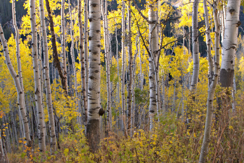желтый цвет осени осин белый стоковое изображение rf