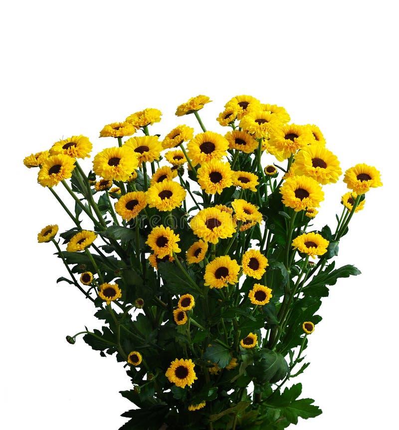 желтый цвет падения хризантем стоковая фотография