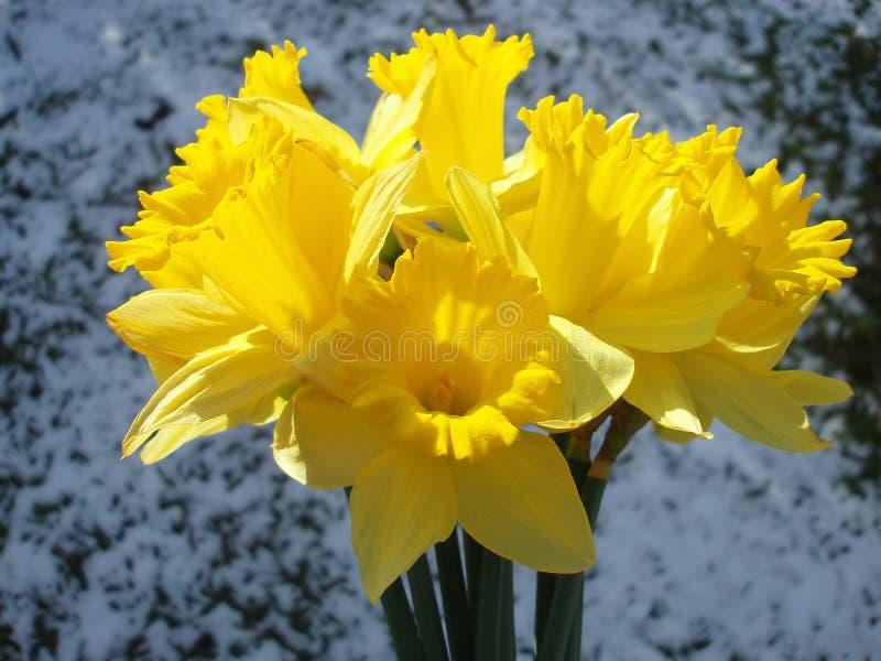 желтый цвет пасхи daffodil стоковые фото
