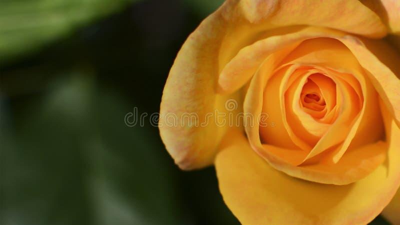Желтый цвет поднял в открытый сад Метафора для мягкости, сложности, элегантности стоковое фото rf