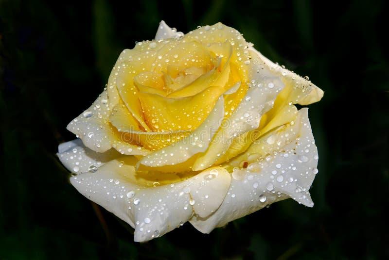 Желтый цвет поднял в падения росы близко вверх на темную предпосылку стоковое фото
