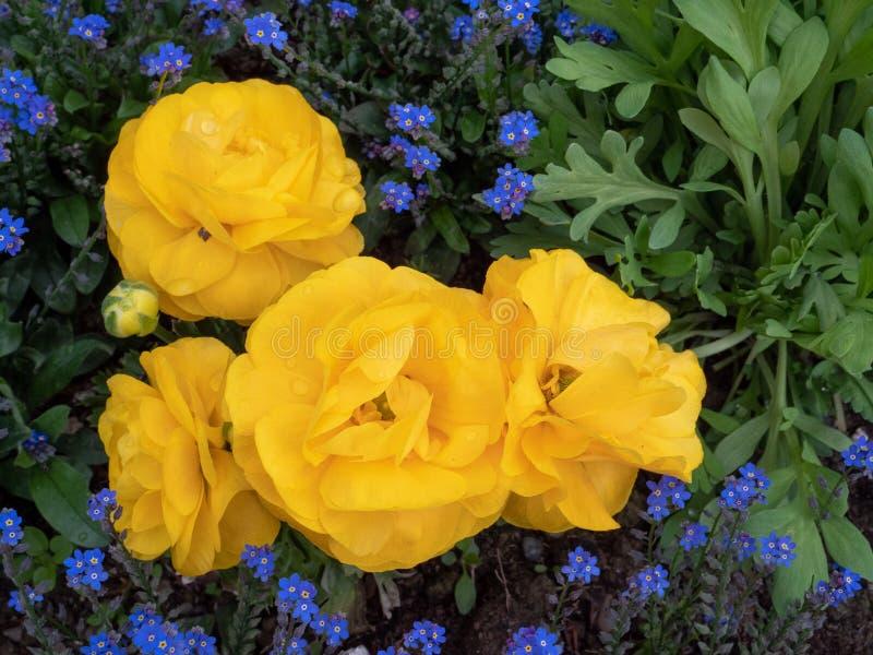 Желтый цвет поднял на сад стоковое изображение rf