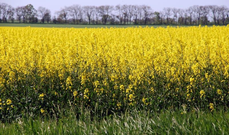 желтый цвет поля canola стоковое фото rf