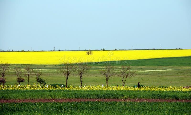 желтый цвет поля canola стоковая фотография rf