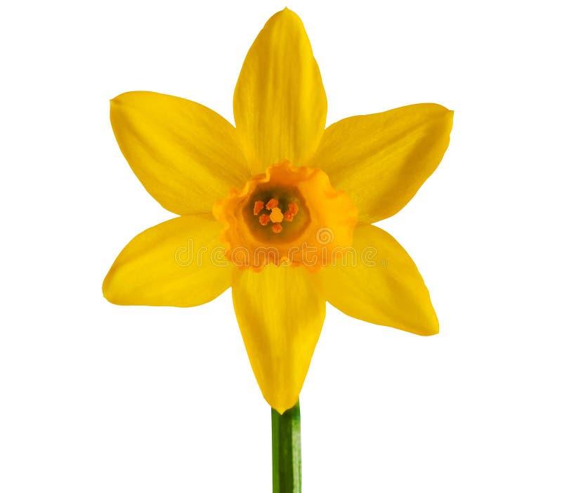 желтый цвет предпосылки изолированный daffodil белый стоковая фотография rf