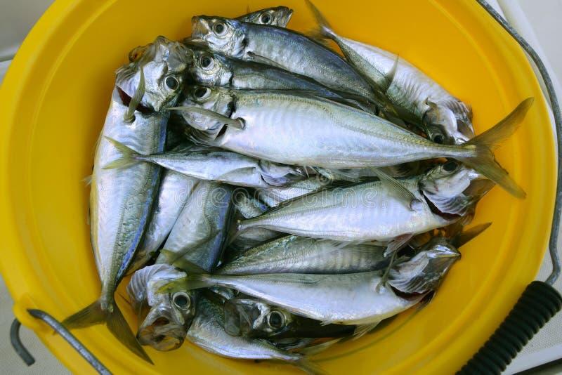желтый цвет продуктов моря ведерка скумбрии стоковые фотографии rf