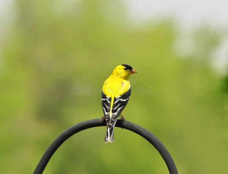 желтый цвет птицы стоковое фото