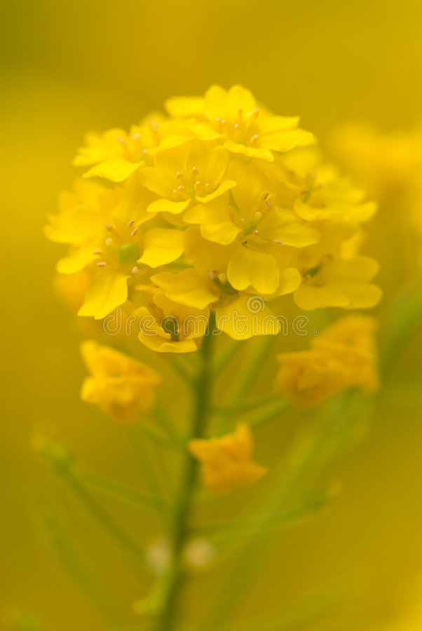 желтый цвет рапса цветеня стоковое фото