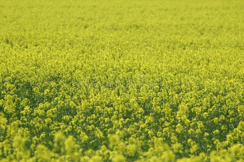 желтый цвет рапса стоковая фотография