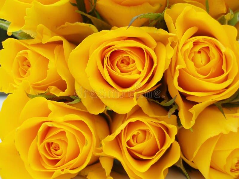 желтый цвет роз пука стоковое изображение
