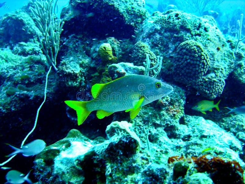 желтый цвет рыб тропический стоковое фото