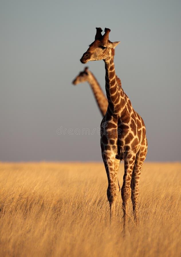 желтый цвет саванны giraffe стоковое фото rf