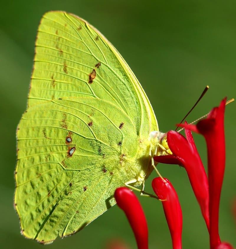 желтый цвет серы бабочки стоковая фотография rf