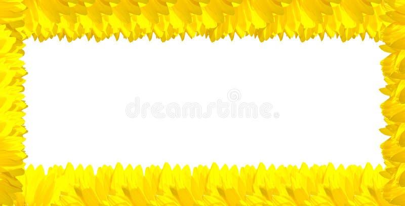 желтый цвет солнцецвета предпосылки белый стоковое фото