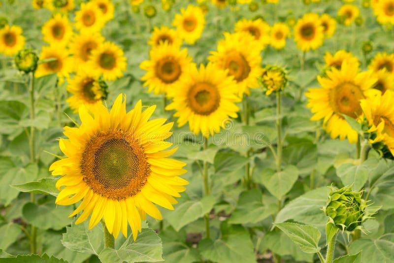желтый цвет солнцецвета солнца поздним летом цветка центра поля пчелы яркий Яркая предпосылка желтого зеленого цвета флористическ стоковое изображение