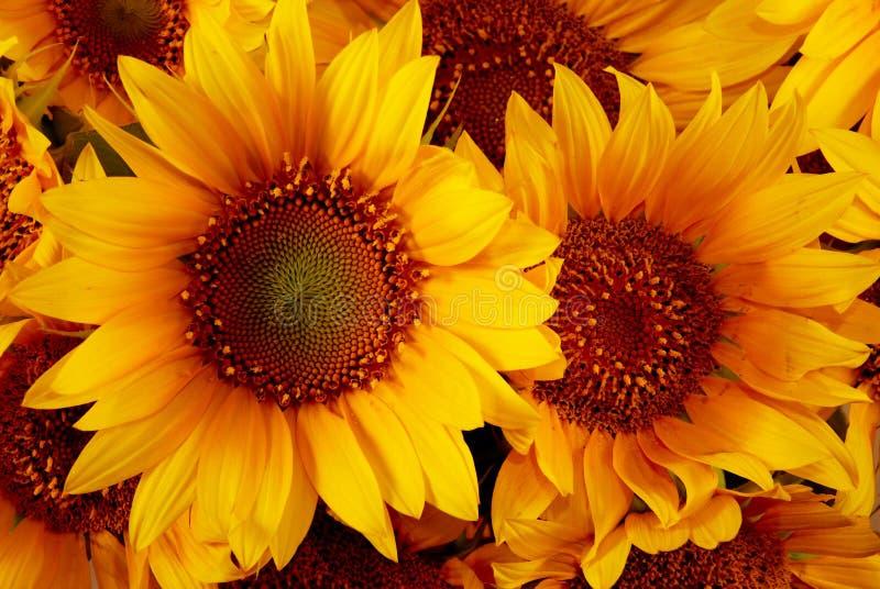желтый цвет солнцецветов стоковая фотография rf