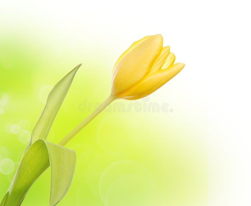 желтый цвет тюльпана стоковые фотографии rf
