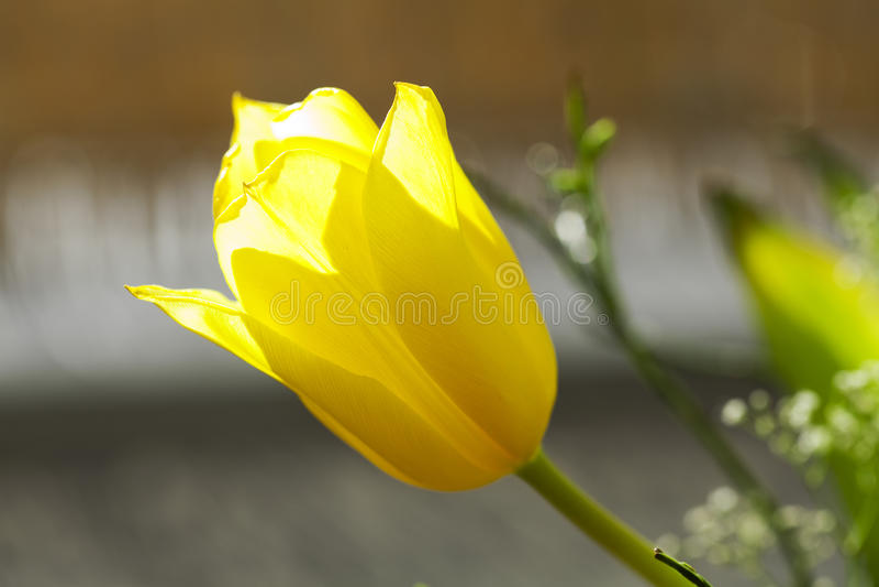 желтый цвет тюльпана стоковое фото