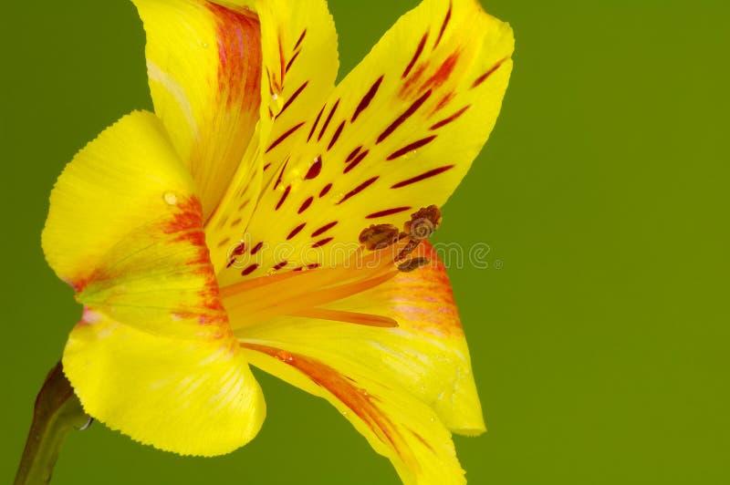желтый цвет тюльпана стоковые изображения rf