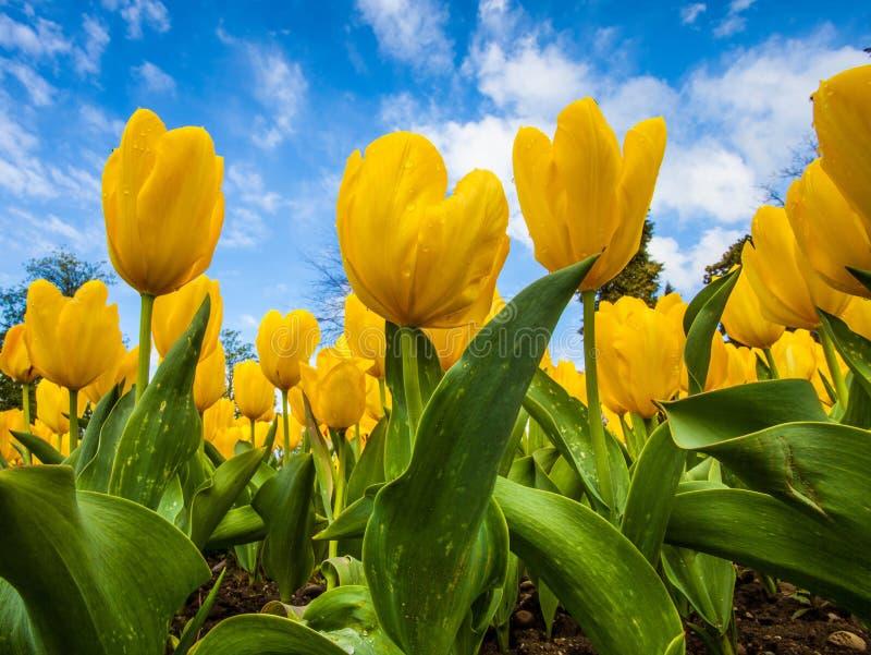 желтый цвет тюльпанов стоковые фотографии rf